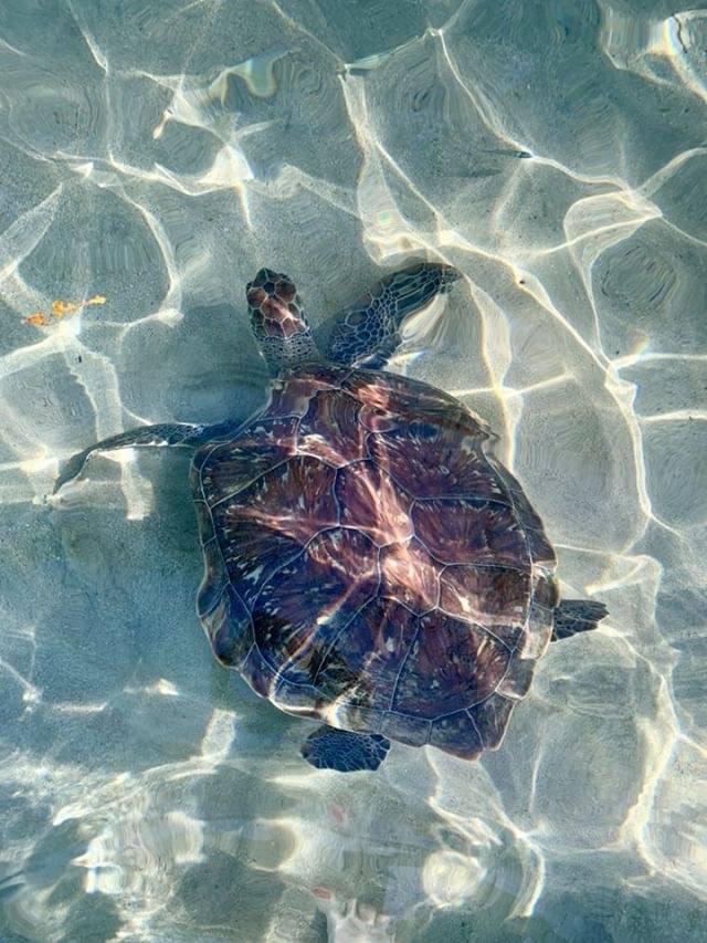 tortue anse Dufour Martinique